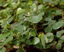 Una pianta essenziale per proteggere il nostro organismo : il desmodium ascendens.